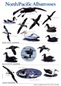 North Pacific Albatrosses, Poster