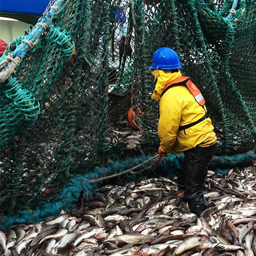 man on fishing boat with hundreds of fish