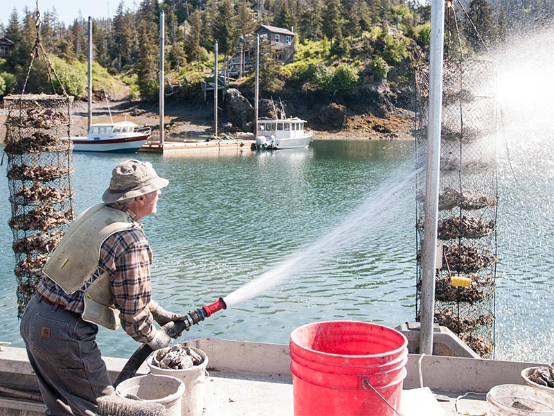 man spraying oyster nets with pressure hose