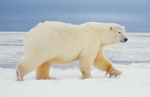 Image Result For Polar Bear Adaptations