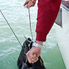 releasing a hook from a halibut
