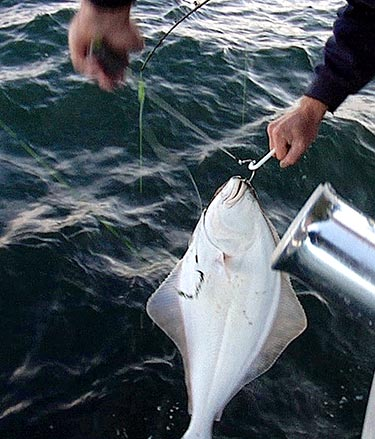 Every halibut counts program aims to reduce injury to for Alaska fish counts