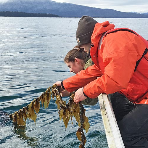 two people pulling kelp from water