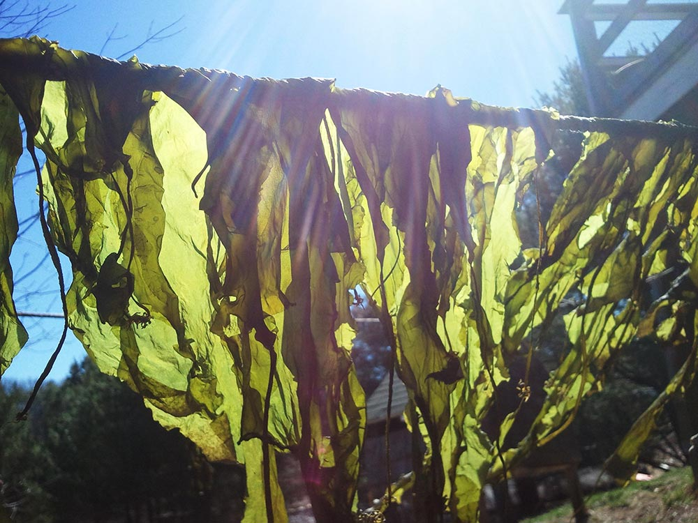 seaweed hanging on a clothesline