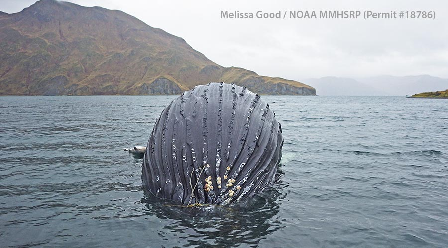 closeup of whale tangled in net