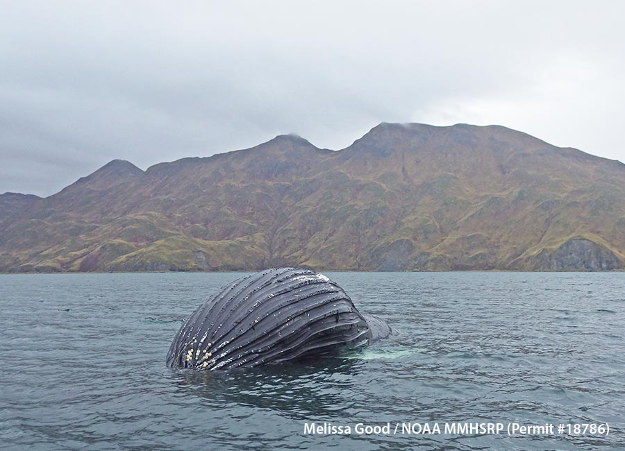 sideview of whale on surface, with mountains behind