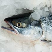 silver salmon in ice