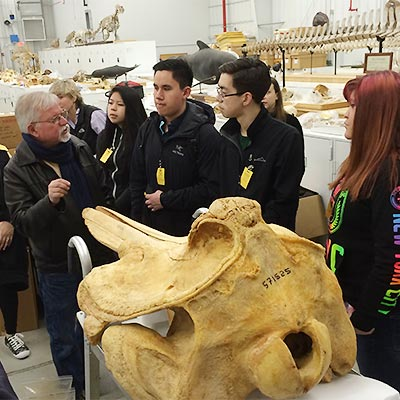 beaked whale skull and students