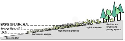 salt marshes unique ecosystems essay