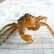 Juvenile king crab