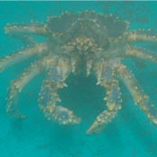 female blue king crab